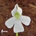 Butterworth ´Pinguicula moranensis 'White flower'