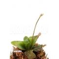 Butterworth 'Pinguicula planifolia'