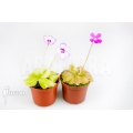 Butterworth 'Pinguicula Starter Package 2'