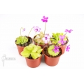 Butterworth 'Pinguicula Starter Package 5