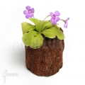 Butterworth ´Pinguicula x 'Tina'