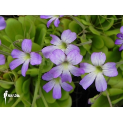 Pinguicula x 'Blue Bells'