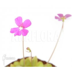 Pinguicula x 'Weser'