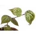 Piper crocatum
