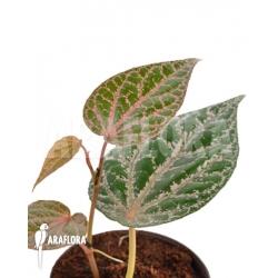 Piper crocatum RT