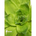 Bromeliad 'Pitcairnia tabuliformis'