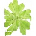 Bromeliad 'Pitcairnia tabuliformis' 'starter'
