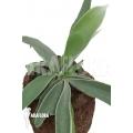 Staghorn fern 'Platycerium veitchii' 'M'