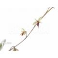 Orchid 'Platystele misera'