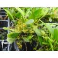 Orchid 'Platystele stenostachya'