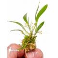 Orchid 'Platystele stenostachya' 'Starter'