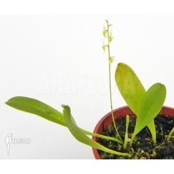 Platystele viridis