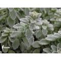 Plectranthus (succulent)