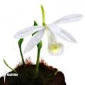 Orchid 'Pleione bulbocodioides 'alba' (formosana)'