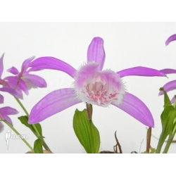 Pleione bulbocodioides pink-white (formosana)