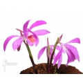Orchid 'Pleione bulbocodioides 'pink' (formosana)'