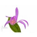 Orchid 'Pleione formosana purple