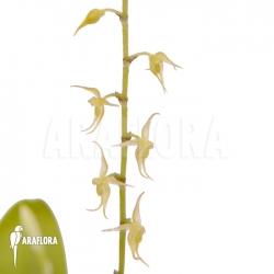 Pleurothallis species Costa Rica yellow