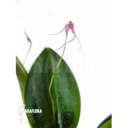 Pleurothalis (syn:Ancipitia) gratiosa