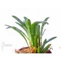 Orchid 'Pleurothallis costaricensis'