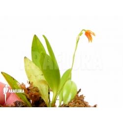 Pleurothallis glandulosa
