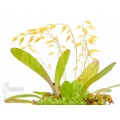 Orchid 'Pleurothallis grobyi'
