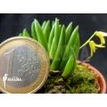 Orchid 'Pleurothallis leptotifolia'