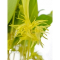 Orchid 'Pleurothallis ruscifolia'