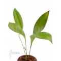 Orchid 'Pleurothallis secunda'