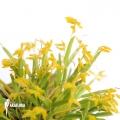 Orchid 'Pleurothallis sonderiana'