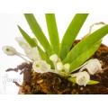 Orchid 'Podangis dactyloceras'