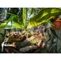 Polypodium megalophyllum