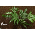 Polypodium species 187