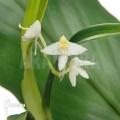 Orchid 'Polystachya fallax'