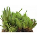 Star moss 'Polytrichum formosum'