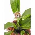 Orchid 'Promenaea rollisonii'