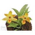 Orchid 'Promenaea x (Sunlight)'