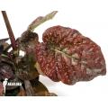Pseuderanthemum alatum