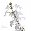 Pseuderanthemum variabile 'L'