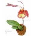 Orchid 'Psychopsis papilio'
