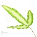 Silver ribbon fern 'Pteris cretica 'albo lineata'