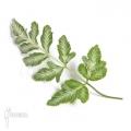 Bracken fern 'Pteris ensiformis 'Evergemiensis'