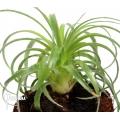 Bromeliad 'Puya species la campana chili'