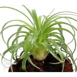 Puya species La Campana Chili