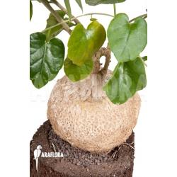 Pyrenacantha malvifolia 'L'