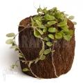 Creeping button fern 'Pyrrosia nummularifolia'