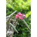 Bromeliad 'Quesnelia marmorata'
