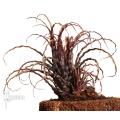 Bromeliad 'Racinaea crispa' started