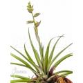 Bromeliad 'Racinaea schumanniana'