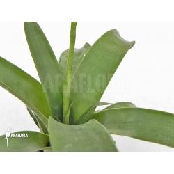 Racinaea spiculosa var. spiculosa 'Kanuku guyana'